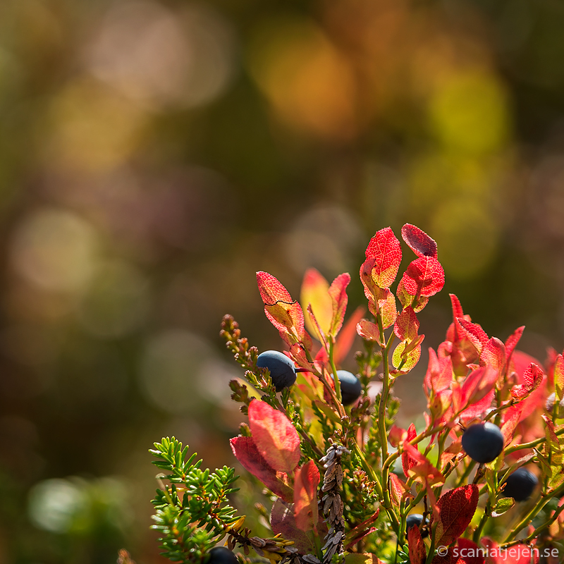 autumn red  blueberry leaves