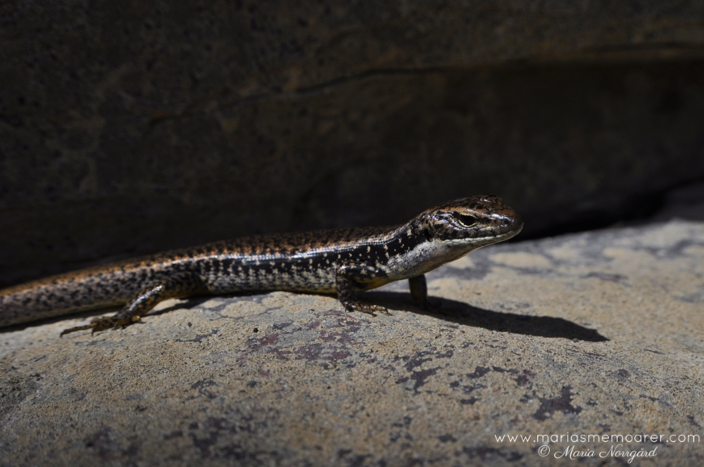 lizards in Australia - Blue Mountains Water Skink near Sydney