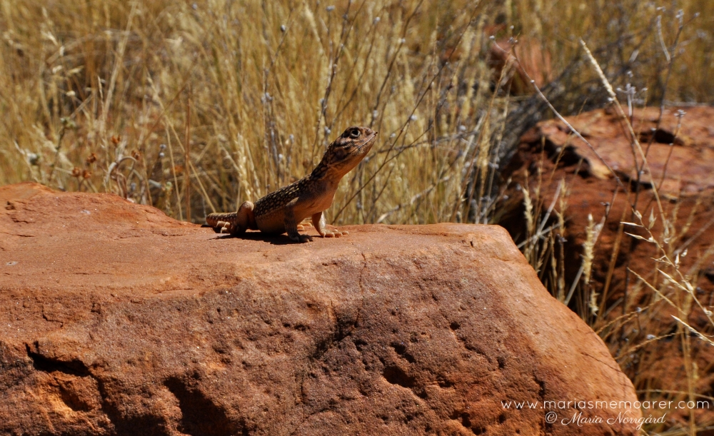 Lizard in Kings Canyon, Northern Territory / ödla i Australien