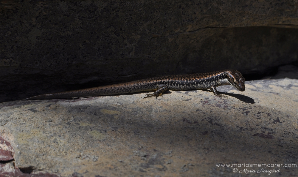 Wildlife of Australia - Blue Mountains Water Skink / Australiens djurliv - vattenskink