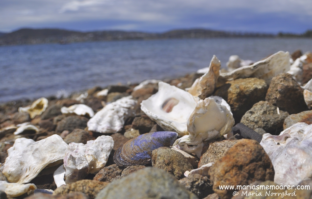 large seashells at Cornelian Bay in Hobart, Tasmania