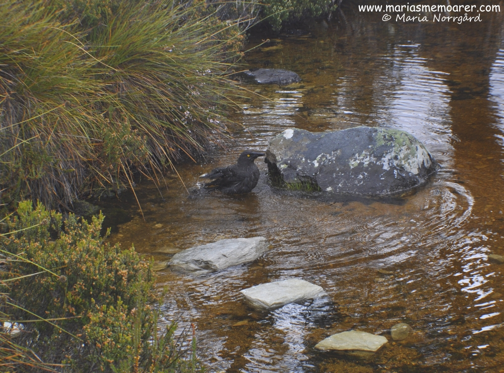 currawong crow spotted in Cradle Mountain, Tasmania