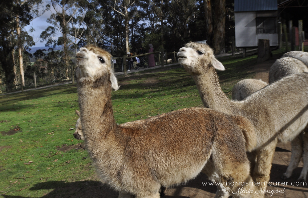things to do in Denmark Western Australia - visit animal farm and see alpacas