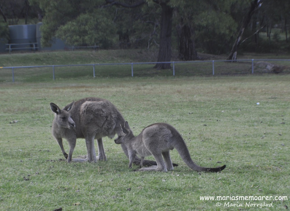 kangaroos in Grampians National Park
