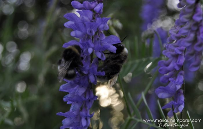 Bumblebees closeup photo / macro