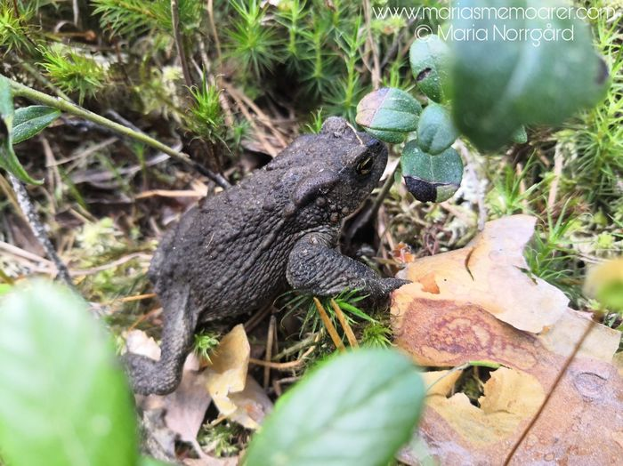 nordic wildlife - toad in Finland (Helvetinjärvi national park)