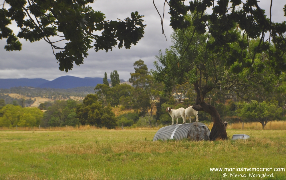 goats on the countryside of Tasmania