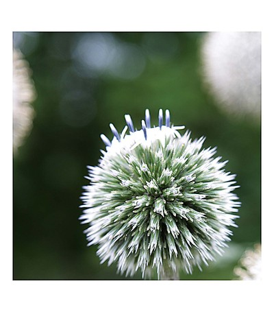 White Allium, shot in Sweden