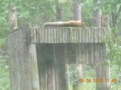 tiger, sover, parken zoo, djur