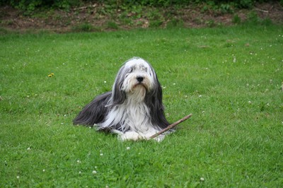 Tik, Bearded Collie