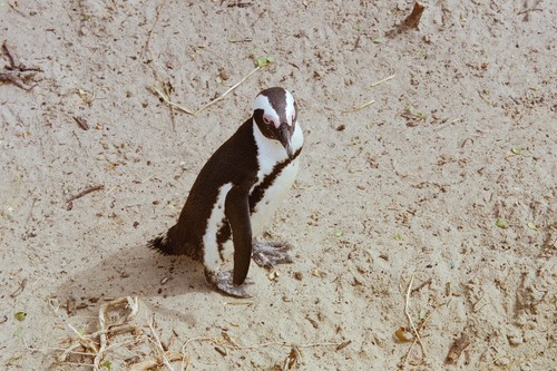 The African Penguin(Åsnepingvin)