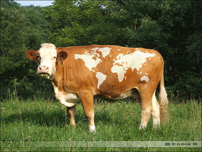 cow of the world