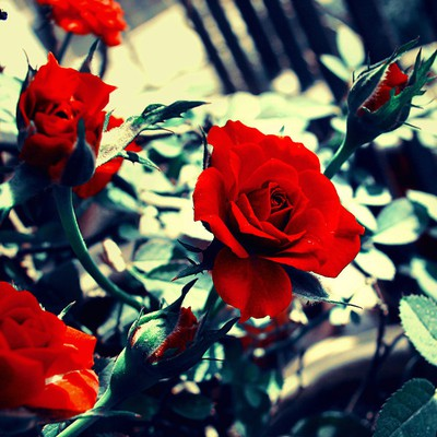 Blood red roses.