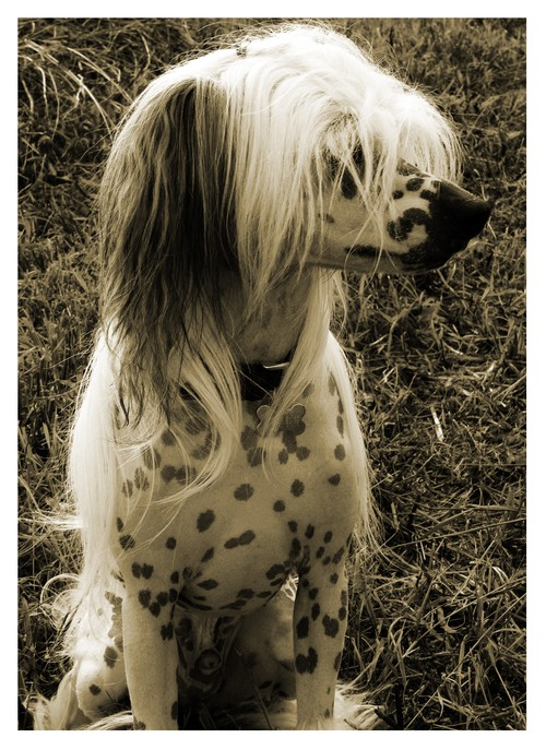 chinese crested tyko