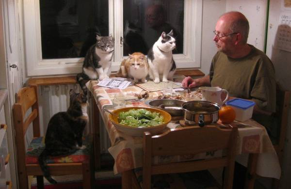 Chicken dinner surrounded by cats