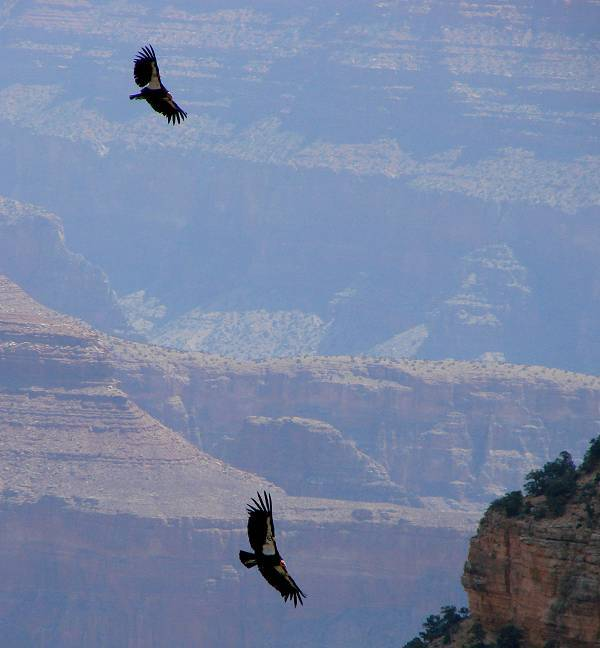 Condors in Grand Canyon