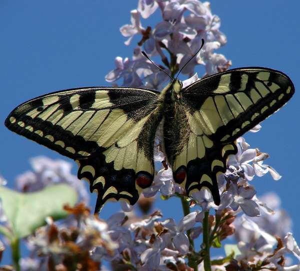 Makaon butterfly (Papilio machaon) at lilacs