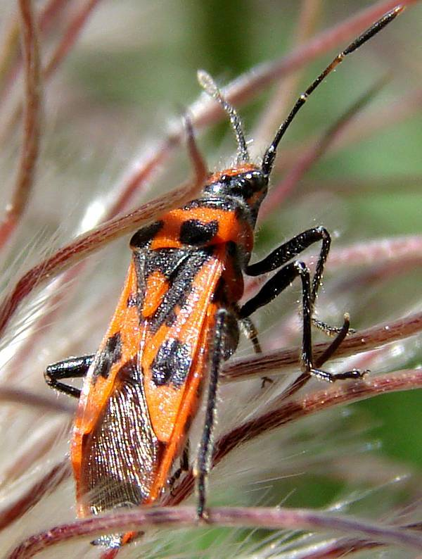 Orange bug at pasqueflower