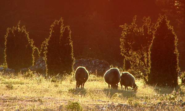 Sheep in sunset light