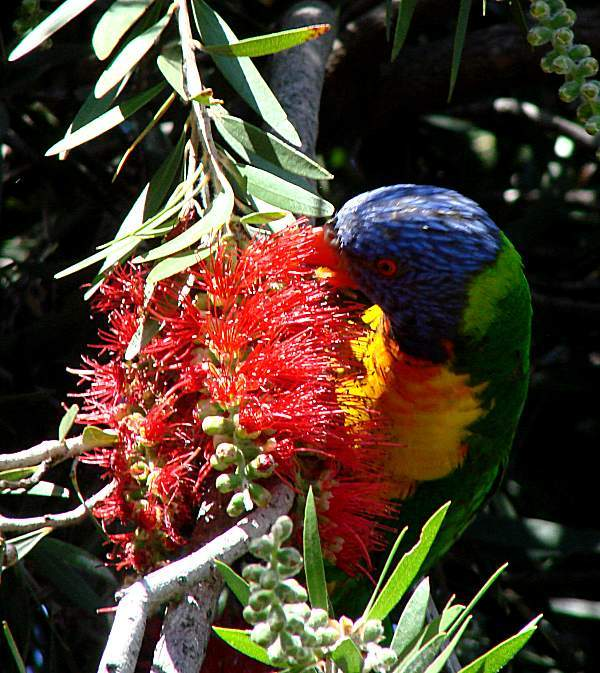 Multi coloured australian bird