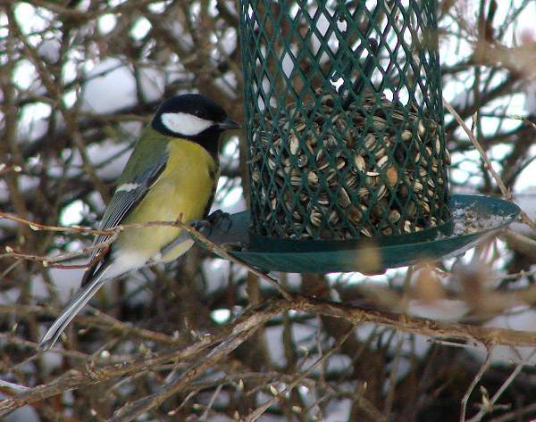 Great tit finding sunflower seeds