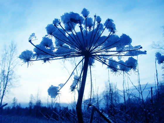 BLuish cow parsley with snow