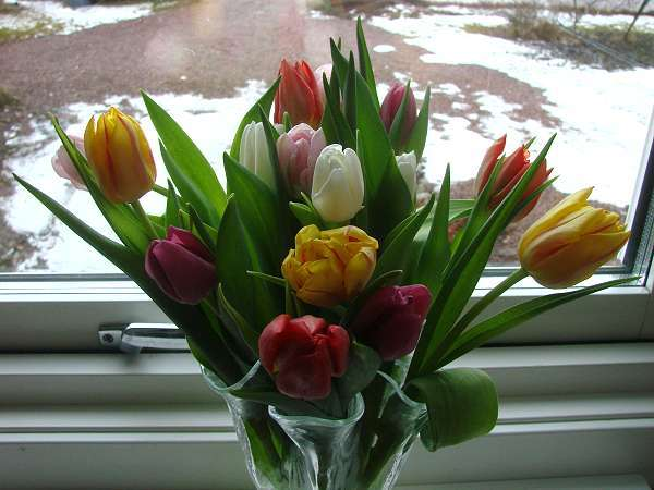 Tulips as a spring forecast
