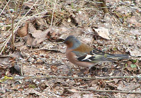 Chaffinch with blurry head