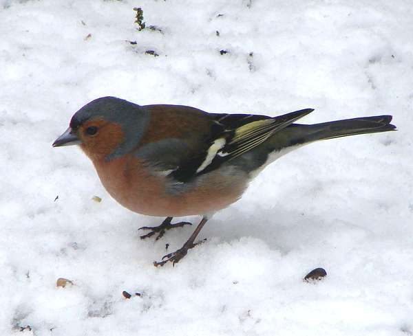 Sharper chaffinch at last