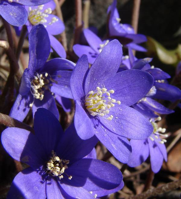Blue anemones growing
