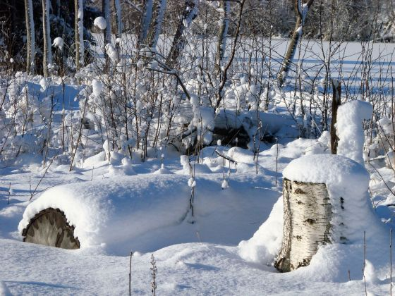 Birch stumps with absolutely fresh snow in sunlight