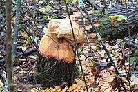 2021-10-20 Skogens trädmarodörer - Bävrar som gillar att gnaga på träd...