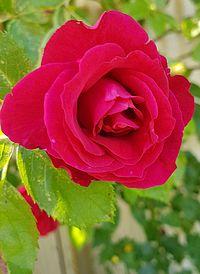 Drömmen om en Rosegarden
